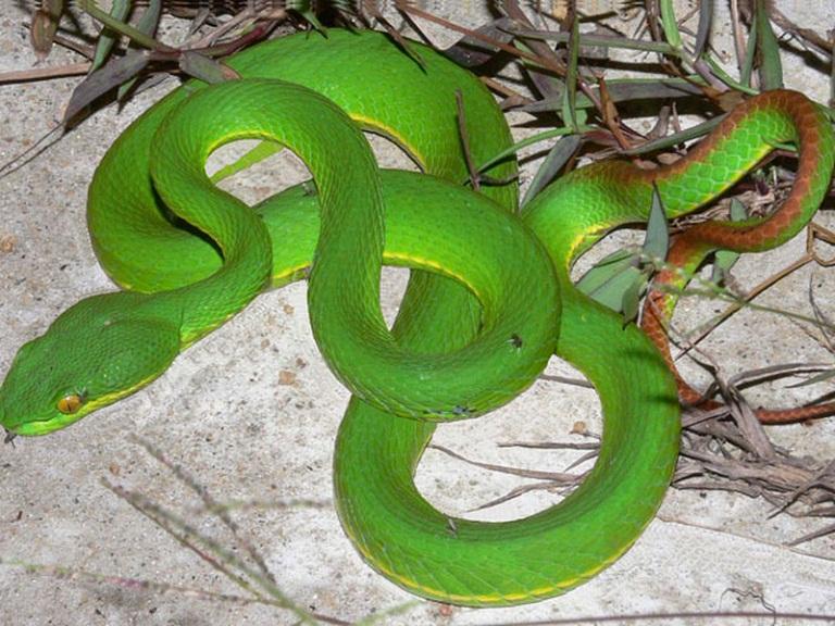 Chữa bệnh viêm xoang bằng rắn lục đuôi đỏ - thật hay giả?
